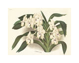 Orchid in White Premium Giclee Print by A. Poiteau
