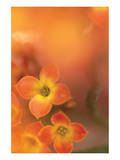 Orange Beauty Prints by Karin Connolly