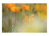 Orange Tulip Mist Print by Karin Connolly