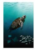 Sea Turtle Rising Plakater af Melinda Bradshaw