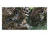 Jaguar Prints by Melinda Bradshaw
