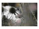 Echinacea Cone Flower Kunstdrucke von Karin Connolly