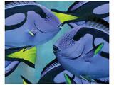 Blue Tang II Art by Melinda Bradshaw