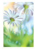 Daisy Dance Print by Karin Connolly
