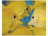 Yellow Tang II Poster by Melinda Bradshaw