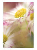 Pink Daisy Prints by Karin Connolly