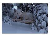 Snowy Wolf Print by Steve Hunziker