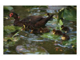 Ducky Swim Prints by Steve Hunziker