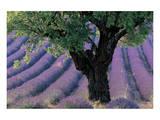 Old Tree Provence Lavender Prints