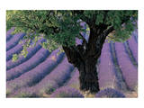 Old Tree Provence Lavender Art