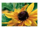 Yellow Gerbera Poster