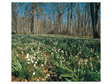 Snowdrops Flowering In Forest Prints