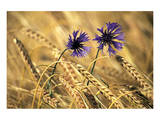 Corn Flowers Poster