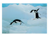 Antarctic Adelie Penguins Prints