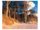 Pine Trees On Aquitaine Coast Poster