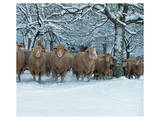 Winter Sheeps Affiches
