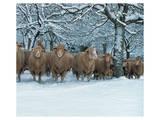 Winter Sheeps Poster