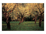 Apple Trees In The Sunset Prints