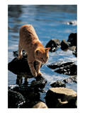 Cat Going From Stone To Stone Posters