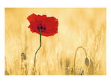 Perfectly Red Poppy Flower Posters