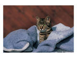 Kitten On A Blue Blanket Prints