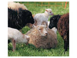Sheep and Friends Prints