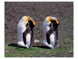 Pair Of King Penguins Prints