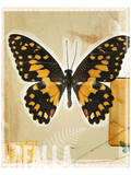 Heliconius Longwings Butterfly Study Prints