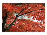 Acer I, Red Maple Prints by Chris Farrow