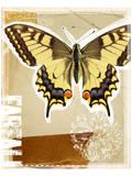 Estudio de mariposa macaón (Papilio Machaon)  Lámina
