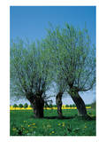 Willows In The Spring Posters