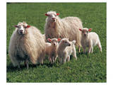 Sheep Family Posters