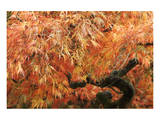 Acer II, Golden Maple Prints by Chris Farrow