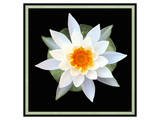 Water Lily on Pads I Print by Catherine Kohnke