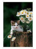 Kitten With Camomiles Posters