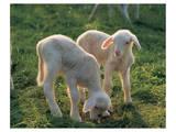 Lambs Prints