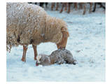 Mother Sheep and Baby in Snow Posters
