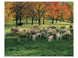 Sheep Herd Art