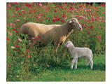 Mother Sheep and Baby Poster