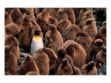 Emperor Penguin and Chicks Prints