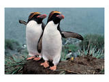 Pair Of Rock-Hopper Penguins Posters