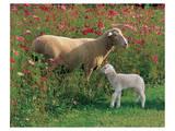 Mother Sheep and Baby Schilderijen