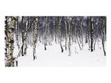 Birches Posters by Chris Farrow