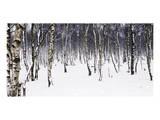 Birches Pósters por Chris Farrow