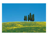 Tuscany Cypress Trees Spring Posters