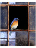Bluebird Window Poster by Chris Vest