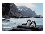 Pair Of Penguins Rugged Coast Prints