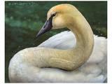 Swan Kunstdrucke von Chris Vest