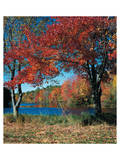 Red Maple In Autumn Posters