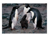 Adelie Penguin Family Prints